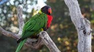 Stock Video Footage of Colorful Lorikeet