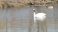 Swans swimming in water Stock Footage