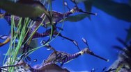 Stock Video Footage of Sea Dragons