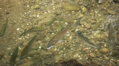 River With Rainbow Trout (HD) Stock Footage