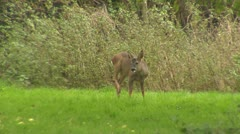 Wild Animal Fehmarn Stock Footage