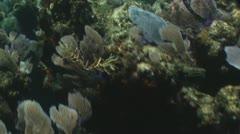 Wrasses eating seaweed Stock Footage
