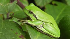 Stock Video Footage of European tree frog