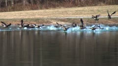 Geese Taking off from Lake Stock Footage