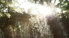 Poplar fluff sunshine rays Stock Footage