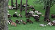Goats graze in the woods Stock Footage