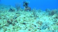 Stock Video Footage of Lionfish on the sea floor