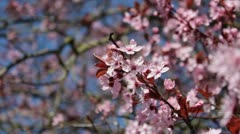 Cherry blossom close-up Stock Footage