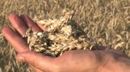 Stock Video Footage of Farmer examines wheat Slow Motion