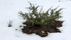 Juniper in winter on the mountain (Juniperus communis) Stock Footage