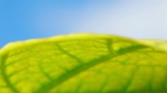 Leaf of tabacco plant macro shot Stock Footage