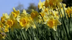 Flowering daffodils from low-angle Stock Footage