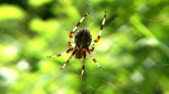 The beautiful spider sits on a web and the sun basks in. - stock footage
