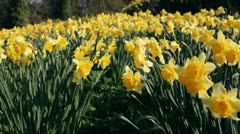 Field of flowering daffodils Stock Footage