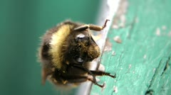 The curious bumblebee all in flower pollen, has sat down to have a rest Stock Footage
