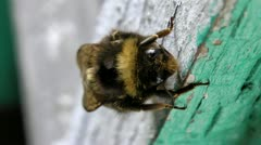 The tired bumblebee all in flower pollen has a rest after the big works Stock Footage
