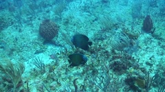 French angel fish - stock footage