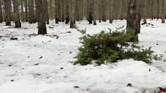 Junipers in the coniferous forest in winter (Juniperus communis) Stock Footage
