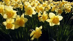 Flowering daffodils close up Stock Footage