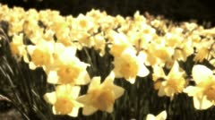 Flowering spring daffodils - stock footage