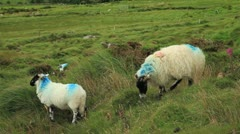 Sheep with Farm Markings in Kerry County, Ireland GFHD Stock Footage