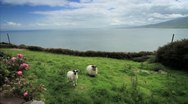 Stock Video Footage of Classic shot of Sheep and the Atlantic Ocean in Green Ireland GFHD