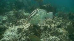 Nassau grouper 01 - stock footage