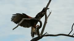 Hawk Flight Detail Stock Footage