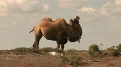 Camel, Countryside - Kazakhstan Stock Footage