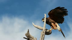Hawk Eats Food Clutched In Claw - stock footage