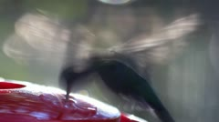 Hummingbird Fluttering Wings - stock footage