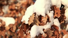 Yellow oak leaves under snow Stock Footage