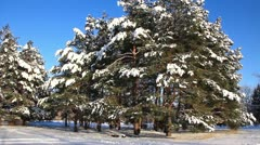 Pine-trees under snow Stock Footage