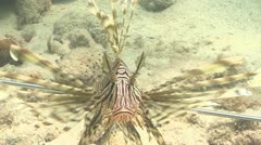lionfish close up - stock footage