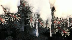 Icicles on fir Stock Footage