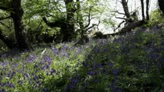 Sunlit spring bluebell wood - stock footage