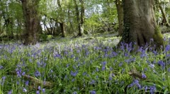 Sunlit spring bluebell wood Stock Footage