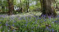 Stock Video Footage of Sunlit spring bluebell wood