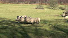 Flock of Sheep Stock Footage