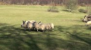 Stock Video Footage of Flock of Sheep