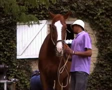 Groom holding Horse while Farrier works GFSD Stock Footage