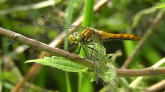 Stock Video Footage of Swamp Darter - Sympetrum depressiusculum