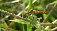 Swamp Darter - Sympetrum depressiusculum Stock Footage