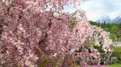 Cherry blossoms. Stock Footage