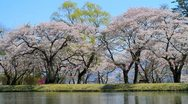 Stock Video Footage of Reflection of cherry blossoms in the river.