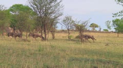 Wildebeest migration - stock footage