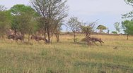 Stock Video Footage of Wildebeest migration