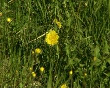 Dandelions Stock Footage