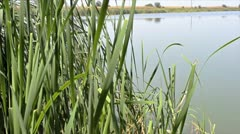 Reeds and ripples Stock Footage