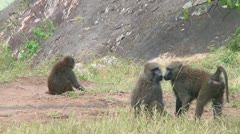 Olive baboon - stock footage